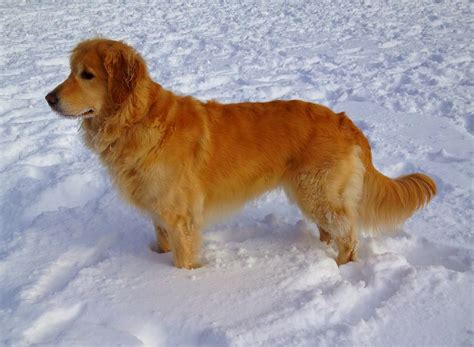 7 Golden Retriever Allergies and Side Effects - Allergy