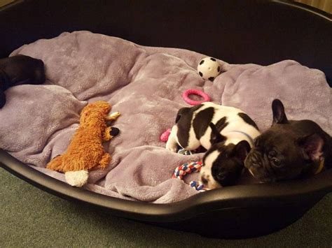 Purebred French Bulldog Puppies | For Sale QLD: Cairns