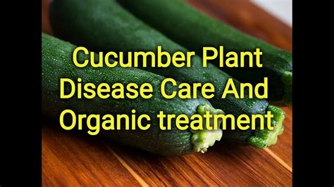 cucumber plant disease care and treatment - YouTube
