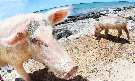Are they doing the hoggy paddle? Swimming pigs of Bermuda