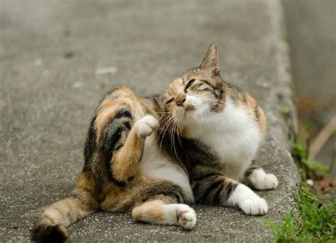 Best Flea Treatment for Cats | petMD