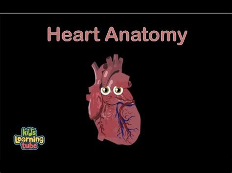 Heart Anatomy for Kids/Hearts for Kids/The Circulatory
