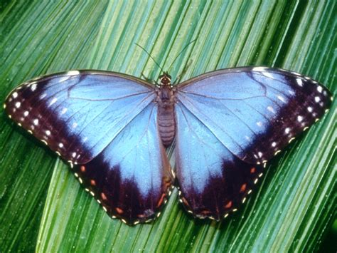 Blue Morpho Butterfly   Insectarium