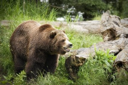 The Life Cycle of Grizzly Bears | Sciencing